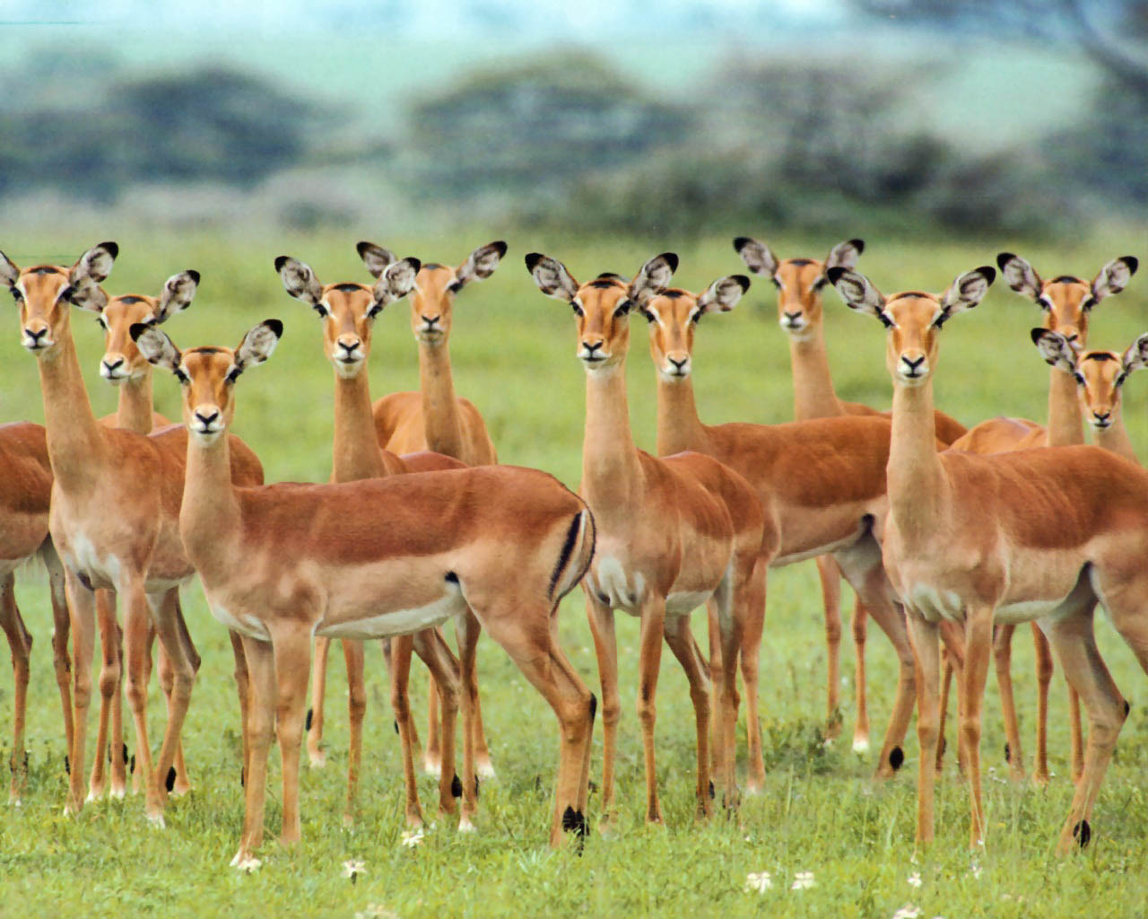 Previous African Wildlife Wallpaper Impala