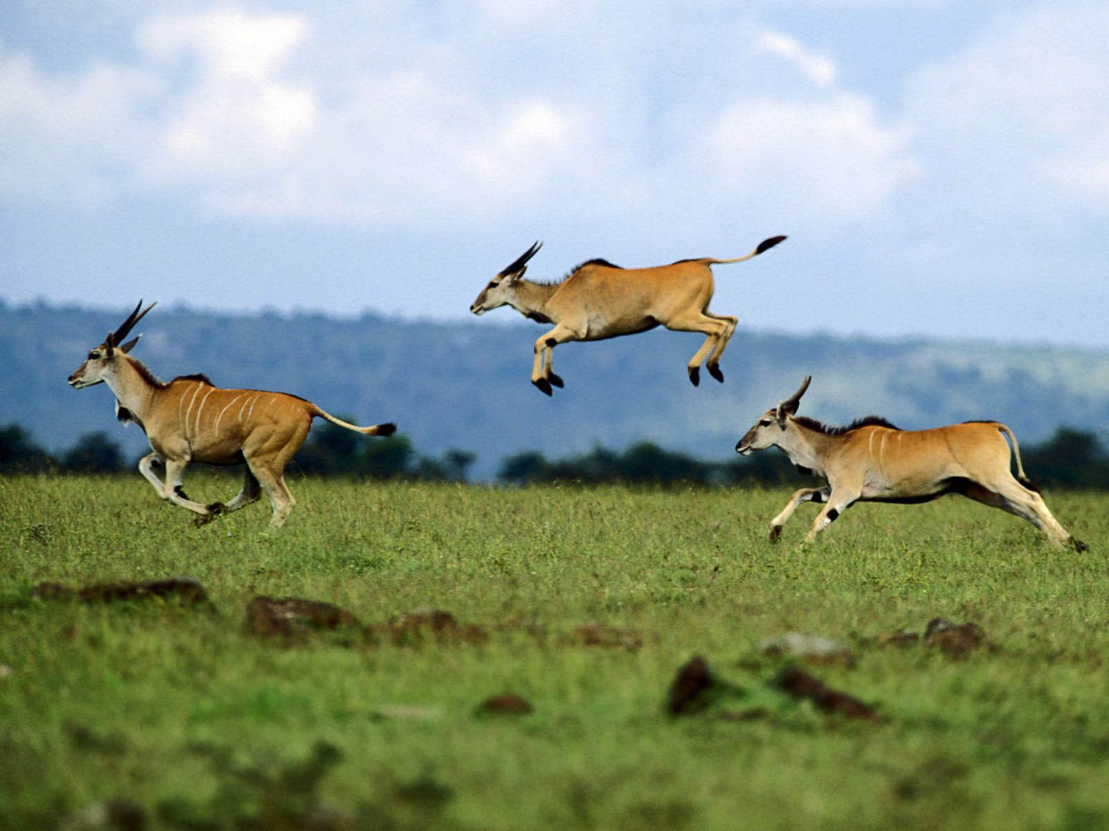 Previous African Wildlife Wallpaper Jumping Contest Cape Eland Kenya Africa
