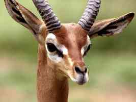 gerenuk central ethiopia