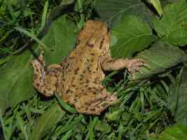 common warty toad