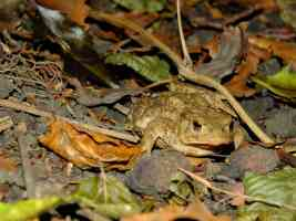 toad in undergrowth