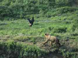 Brown Bear and Bald Eagle Alaska