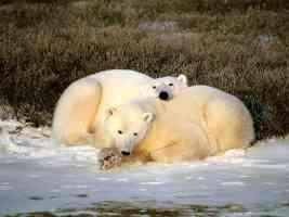 polar bears01
