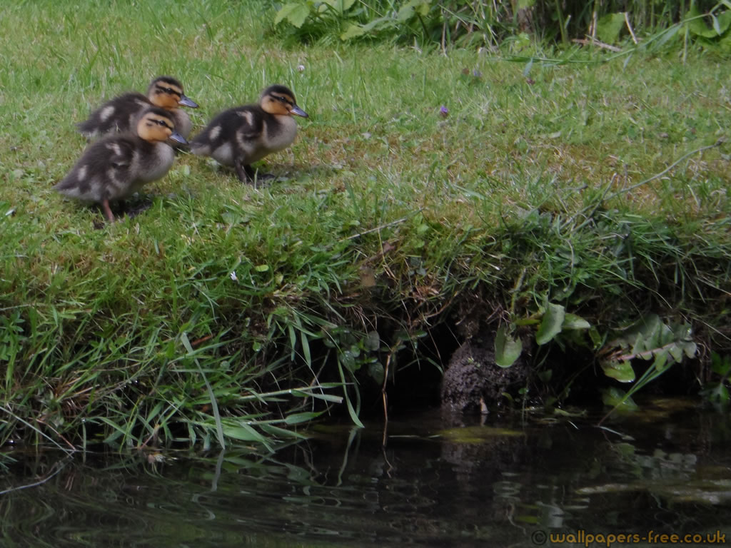 3 Ducklings About To Jump In