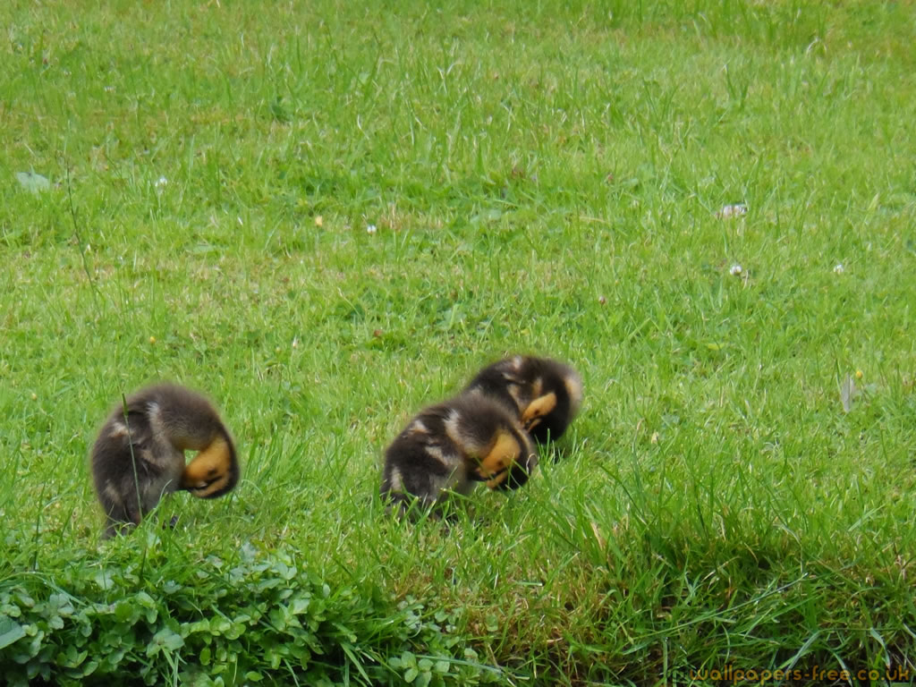 3 Ducklings Cleaning Themselves By The Rivers Edge