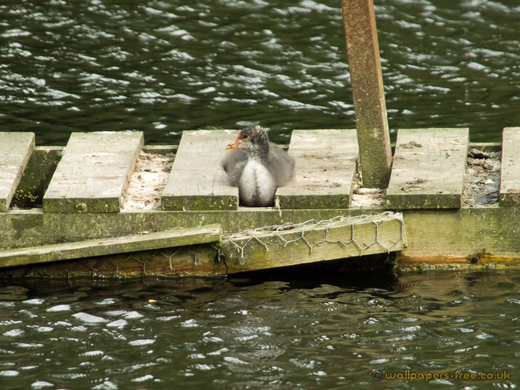 Baby Coot Having A Sit Down
