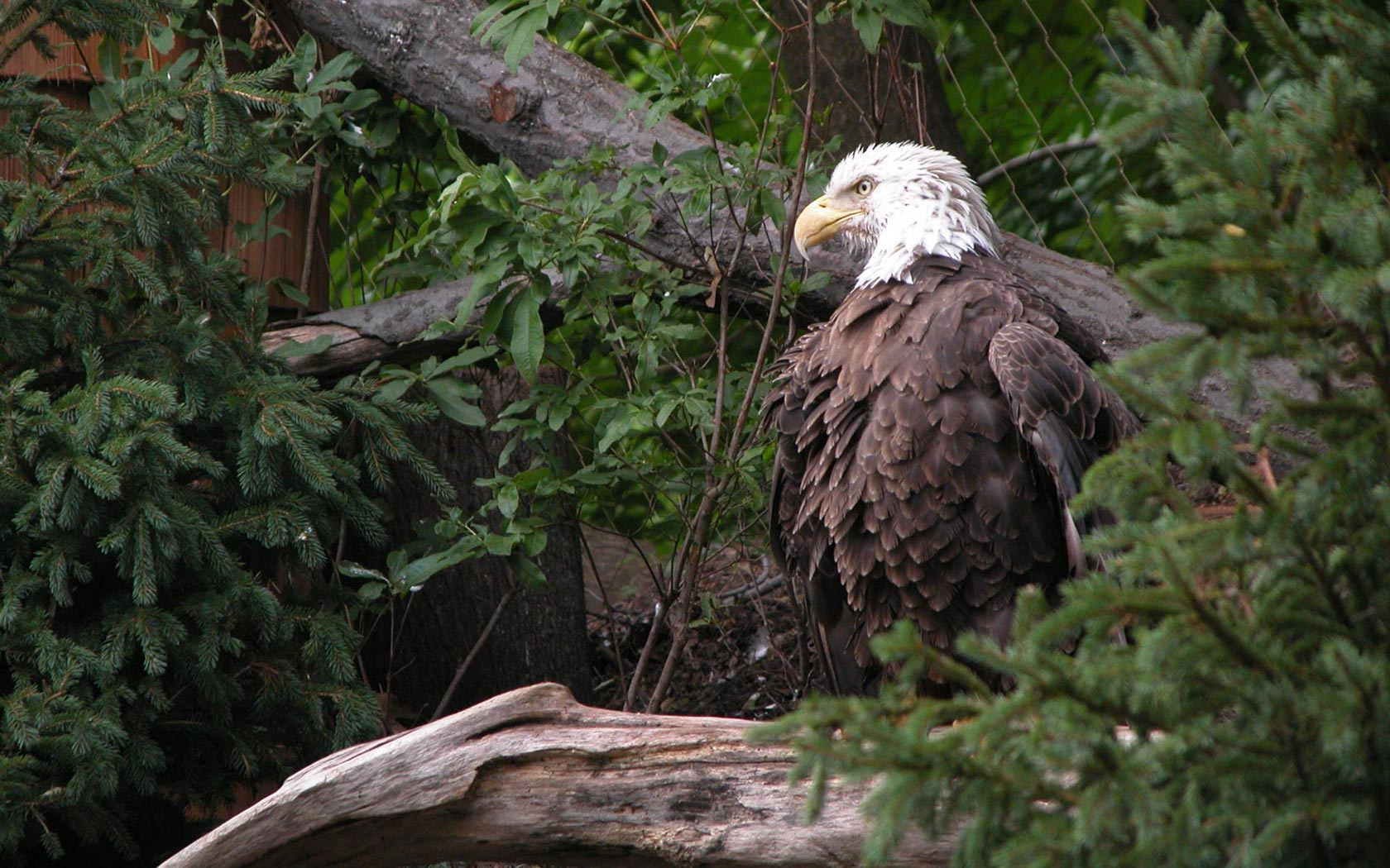 Bald Eagle On Stump