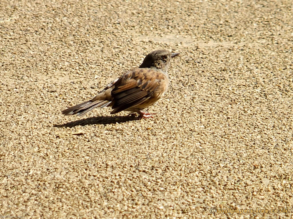 Brown Dunnock Bird