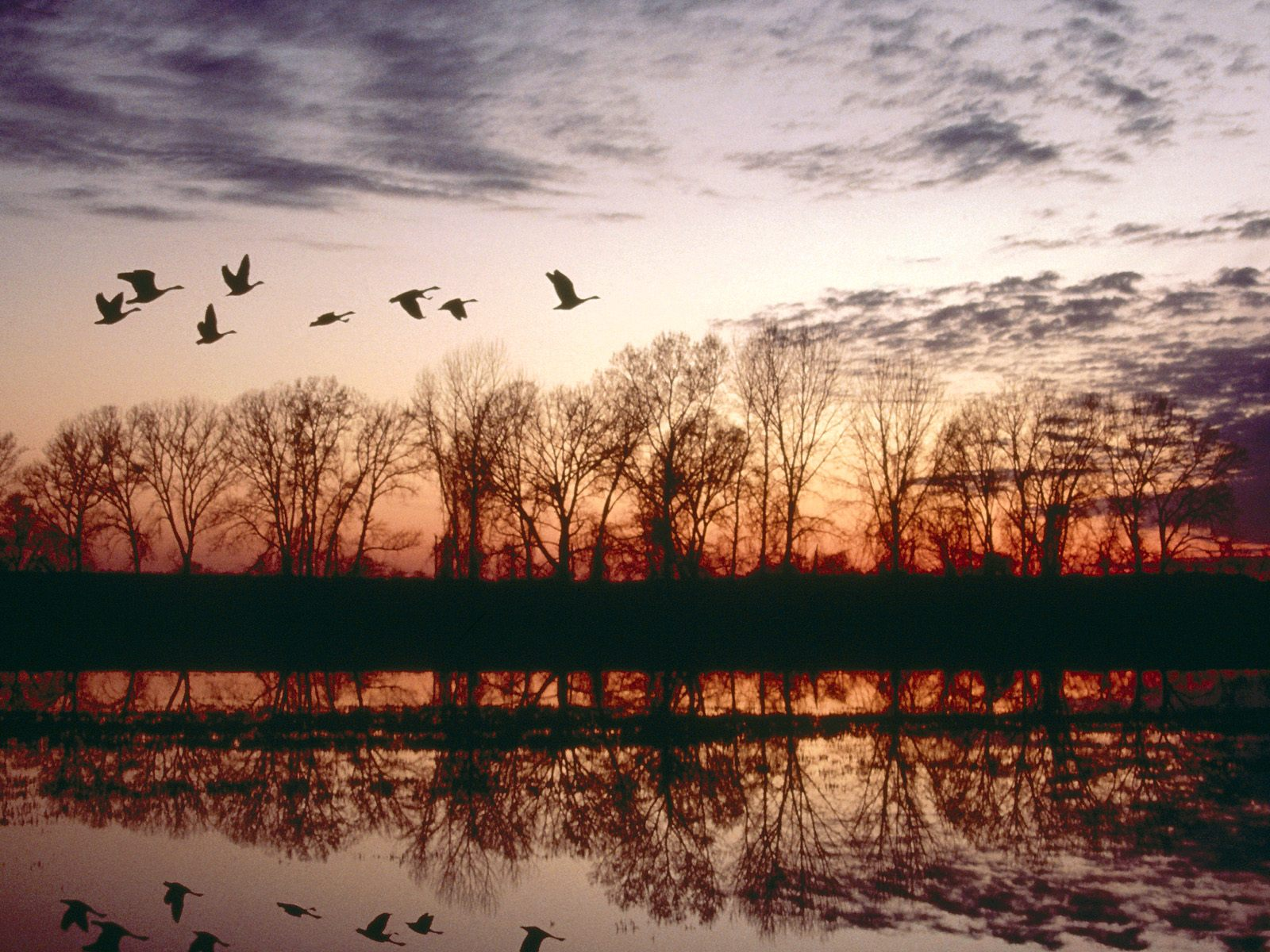 Canada Geese Migrating Missouri