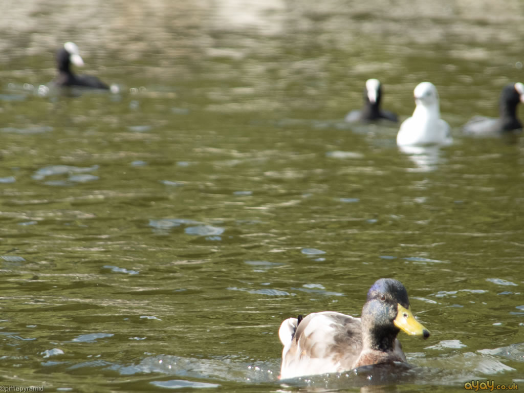 Duck Escaping