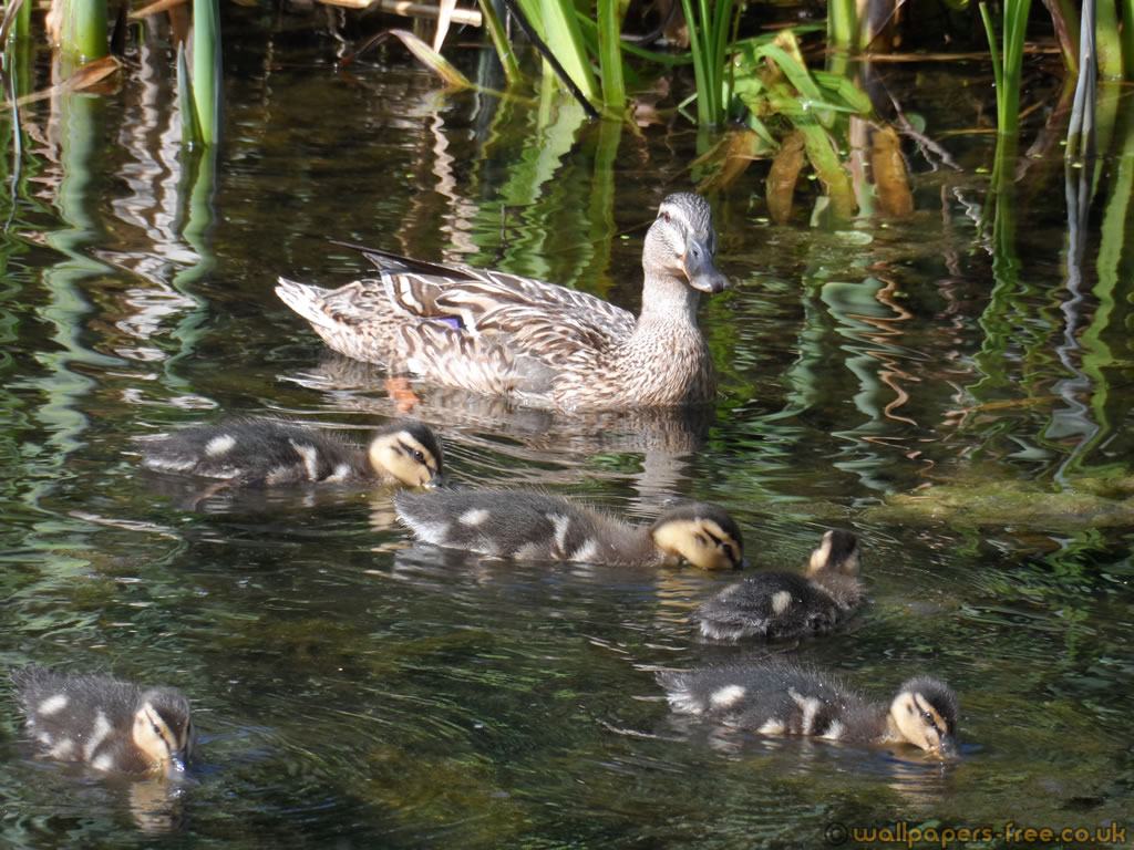 Duck Swimming With Her Ducklings