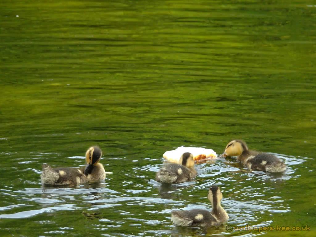 Ducklings Eating Bread