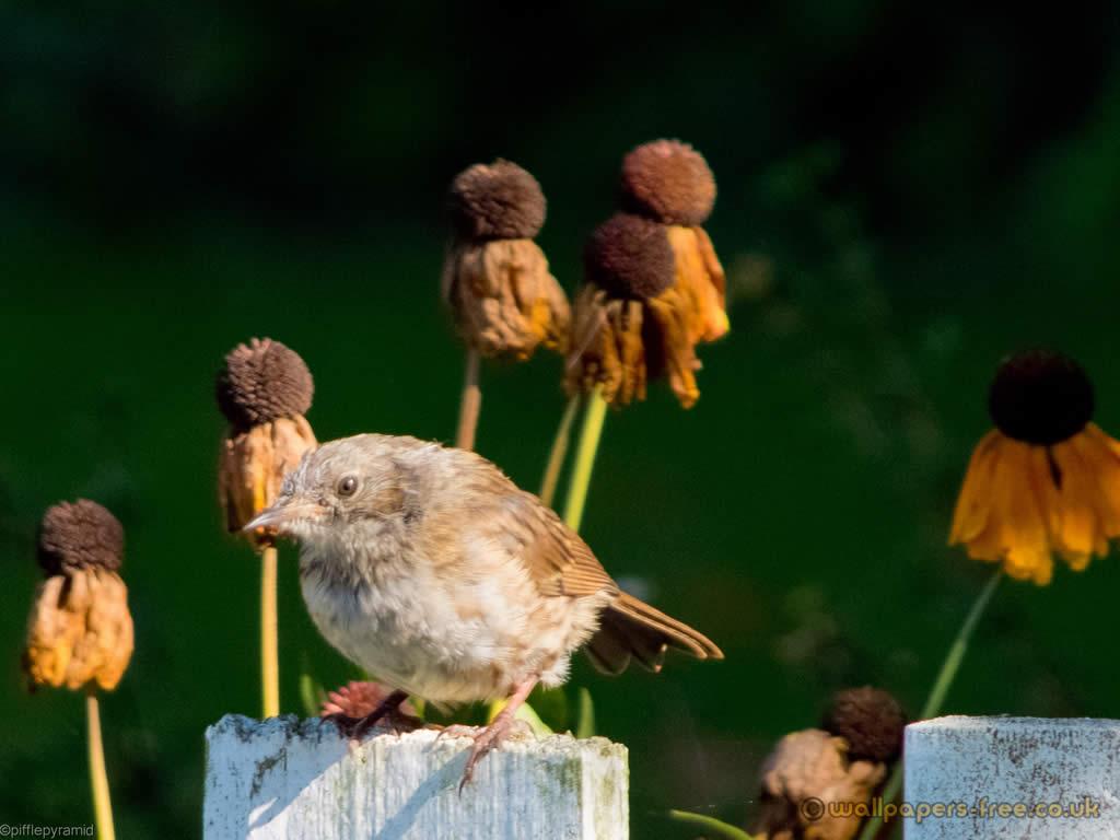 Dunnock Chick