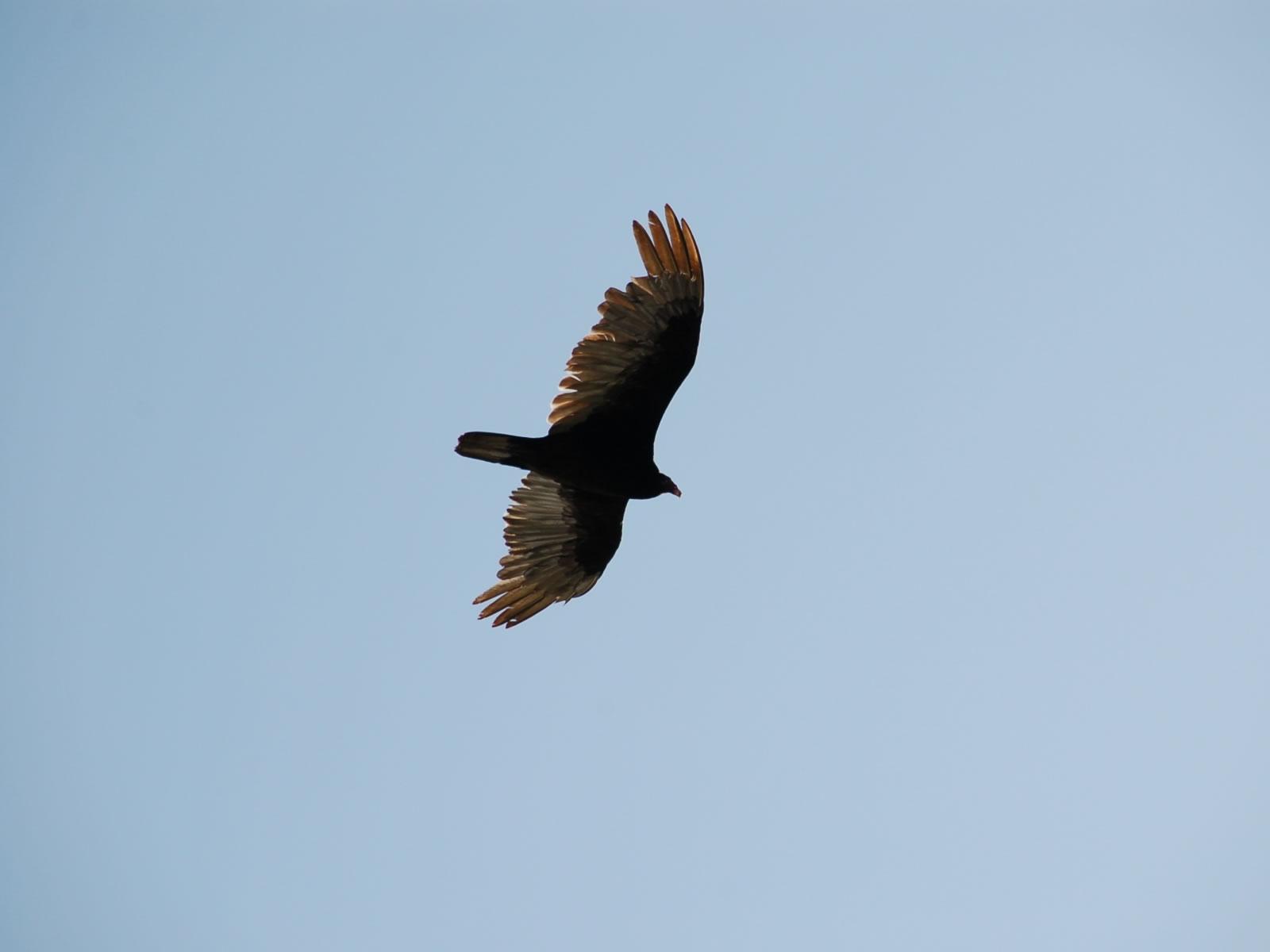 Eagle in the sky birds wallpaper previous birds wallpaper eagle in the sky voltagebd Image collections