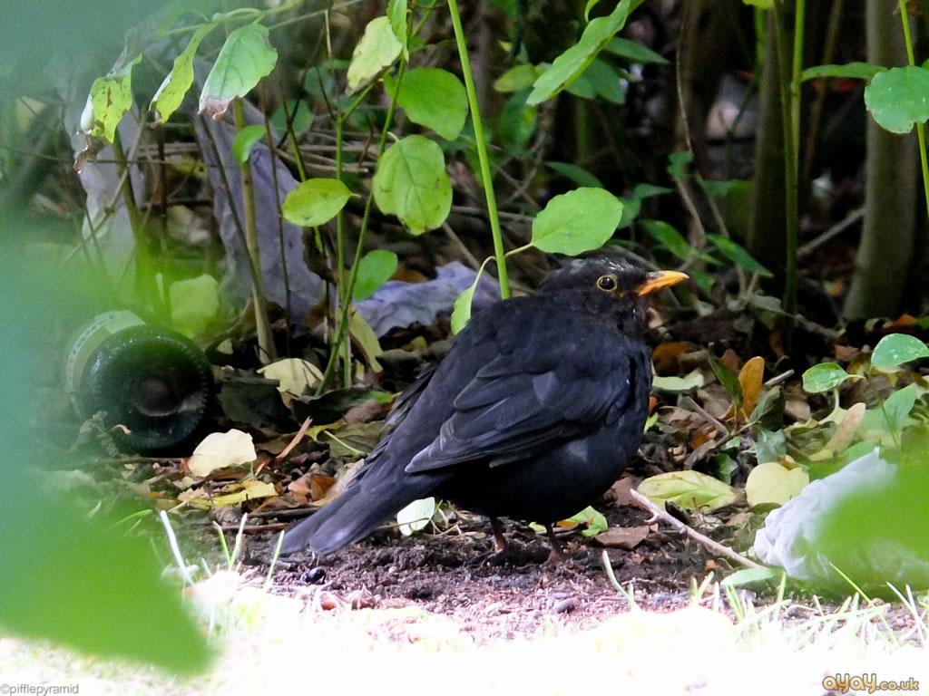 Fat Blackbird