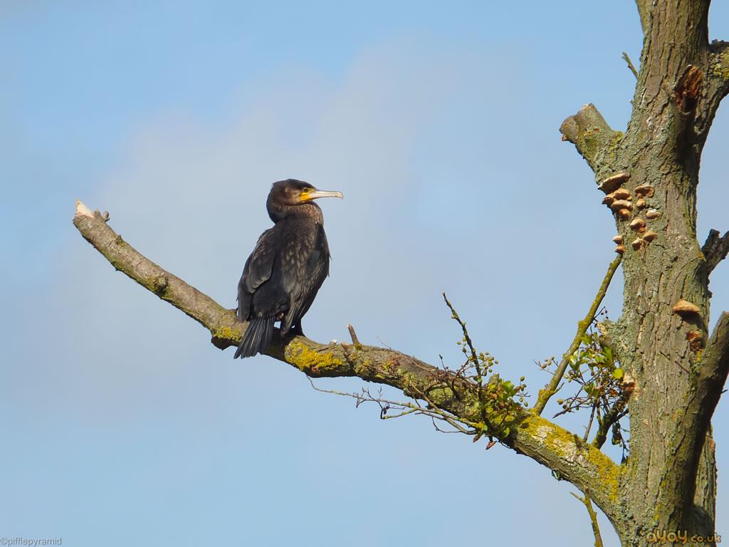 Great Black Cormorant On Tree Branch
