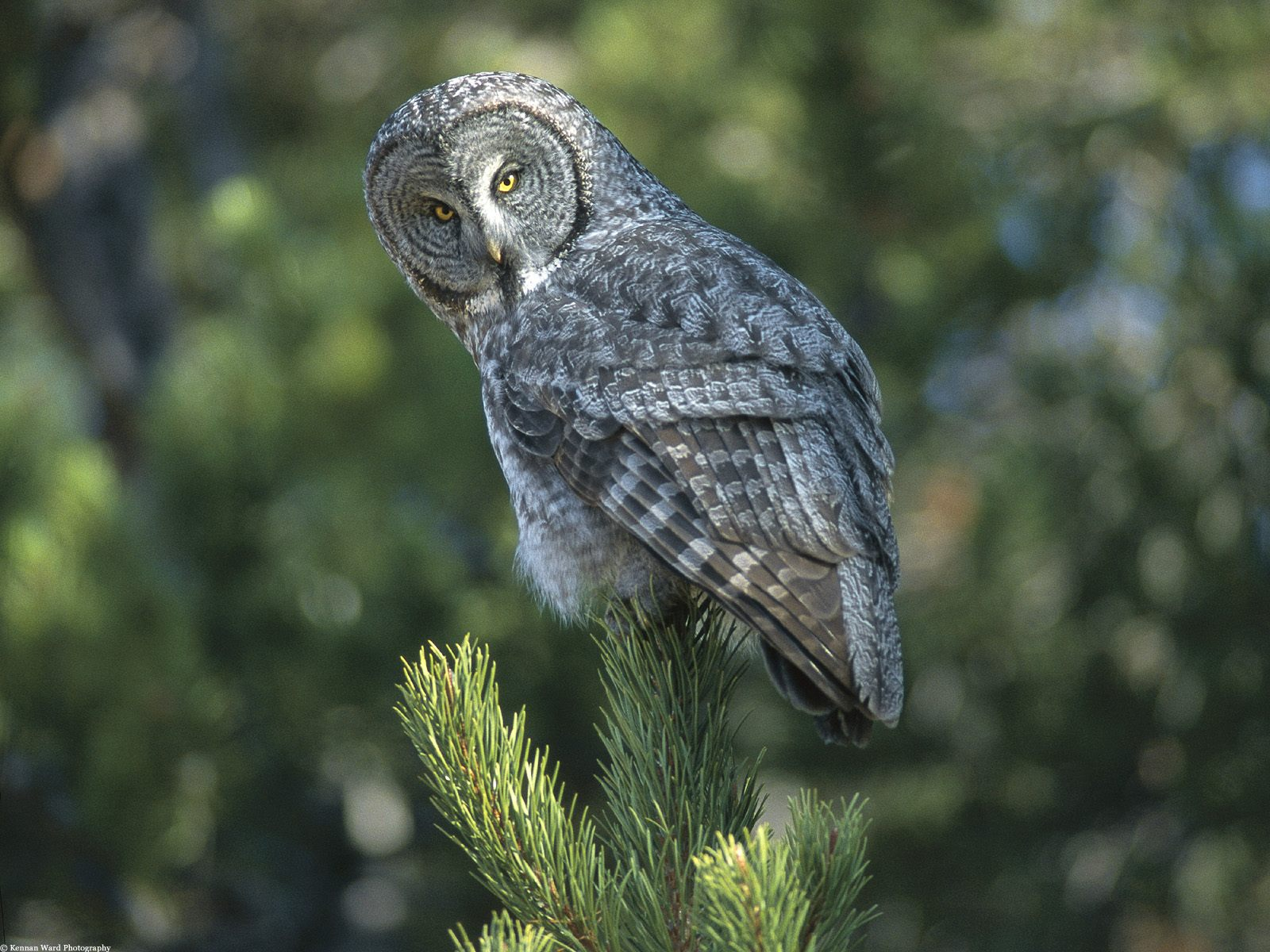 Great Grey Owl In Wyoming - Birds Wallpaper