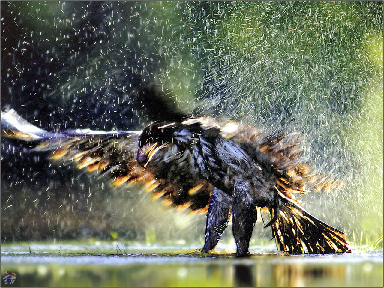 Immature Bald Eagle - animals wallpaper image with birds
