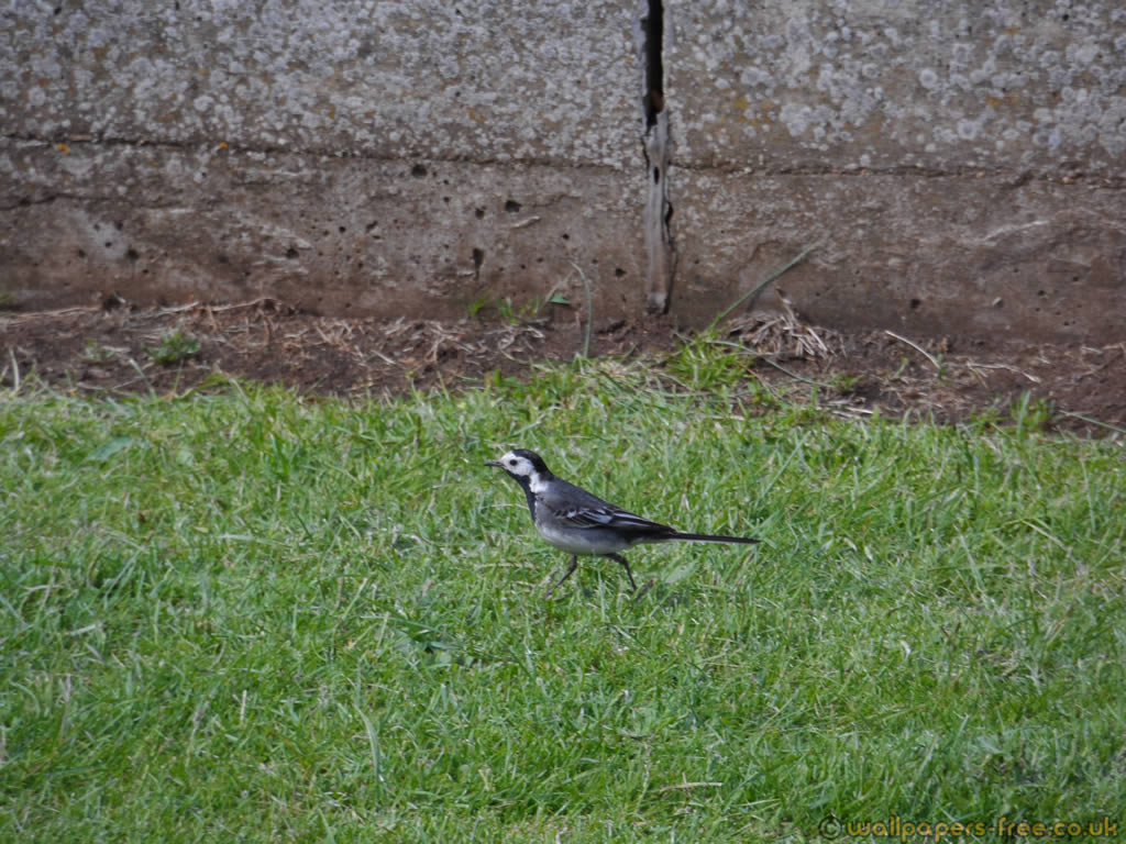 Pied Wagtail Looking Around For Food