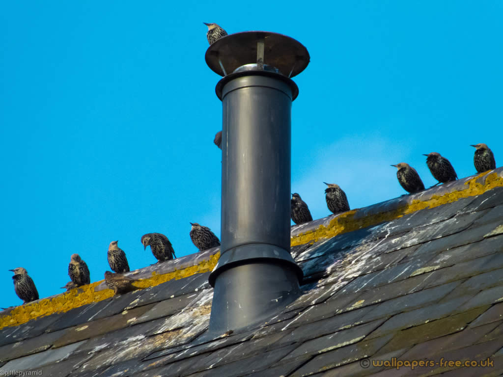 Starling Atop A Metal Chimney