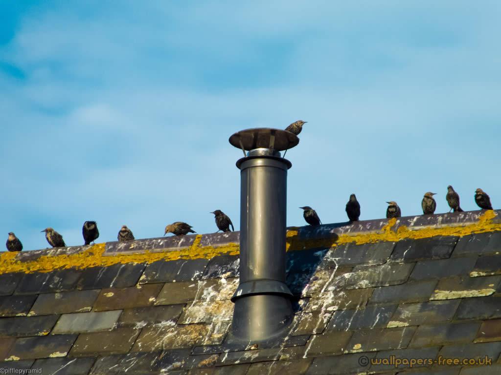 Starlings And Metal Chimney