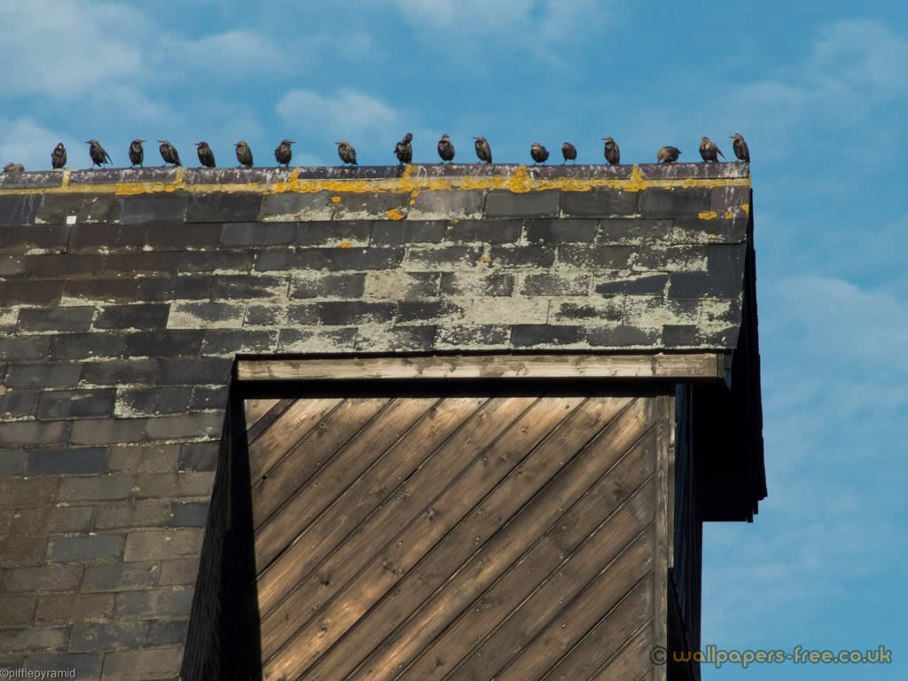 Starlings Lined Up On The Roof