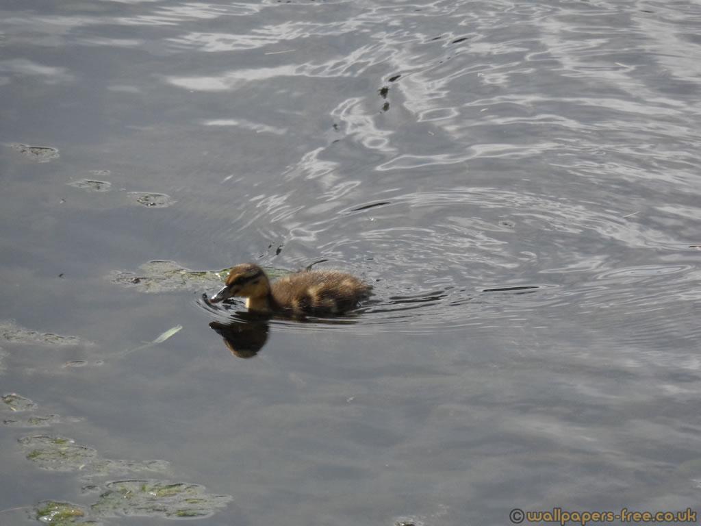Surging Duckling
