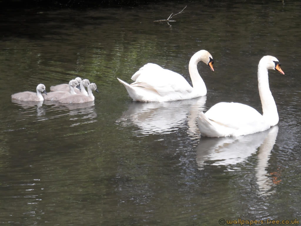 Swans And Their Baby Chicks