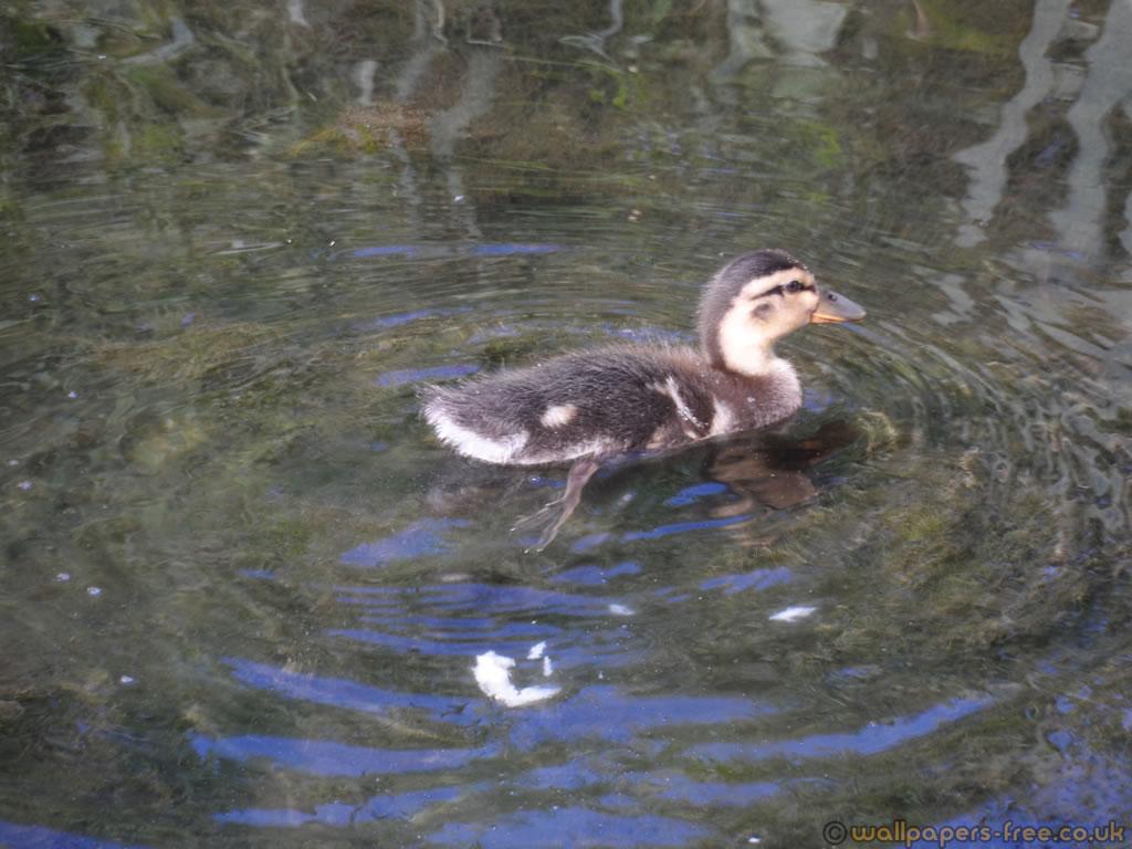 Teen Duckling