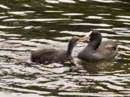 baby coot fighting with its mother