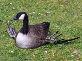 canada goose sitting with splayed wings