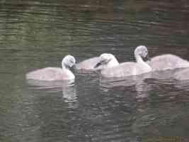 cygnet baby swans