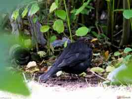 fat blackbird