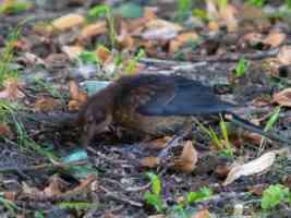 female blackbird eating food