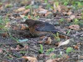 female blackbird with caterpillar food