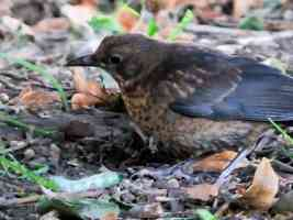 female blackbird with green caterpillar
