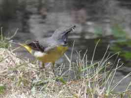 grey wagtail just caught some flies