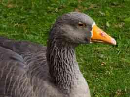 greylag wild goose