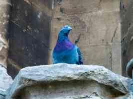 pigeon at church