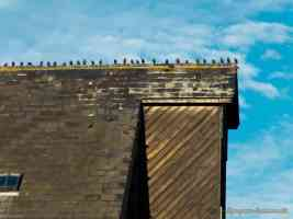 rooftop starlings in a line