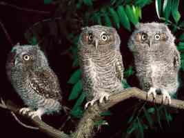 trio of screech owls pennsylvania