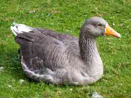 wild greylag goose sitting