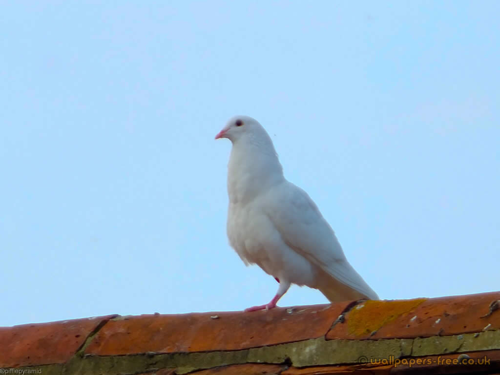 White Dove On Roof