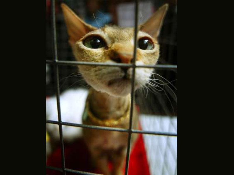 Siamese In A Cage