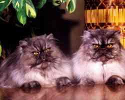 Persian Cats wall TR