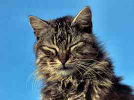 longhaired tabby with eyes closed