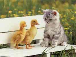silver tabby kitten with two ducklings