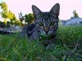 tabby cat playing in the grass
