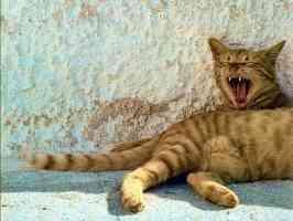 yawning ginger tabby