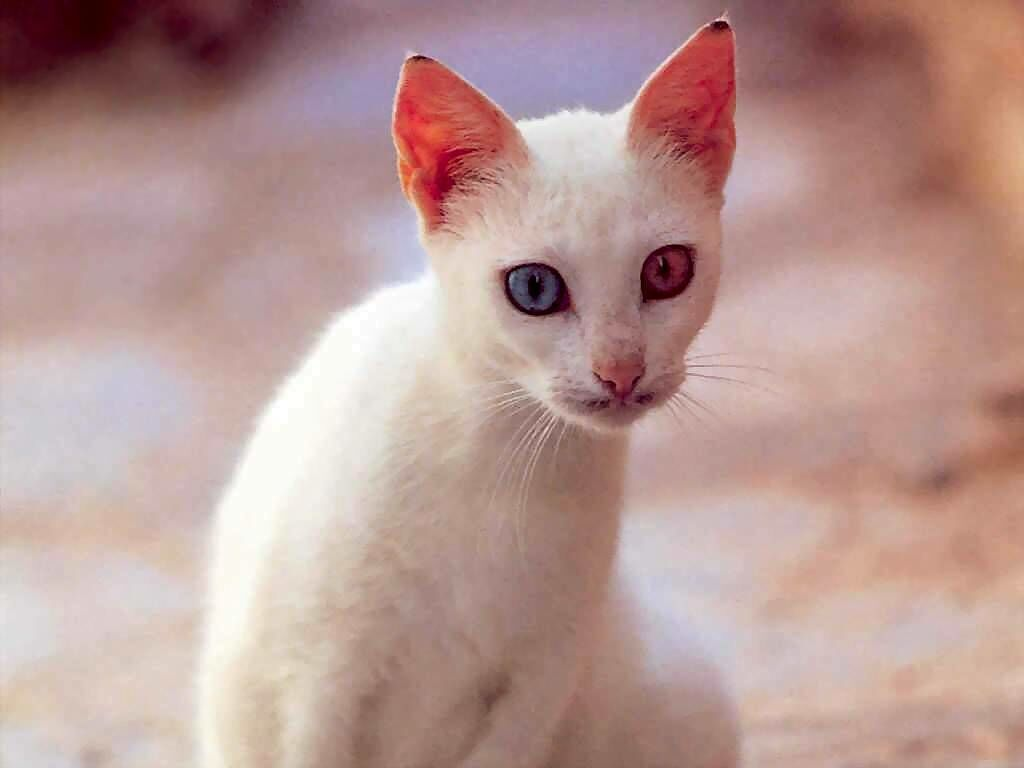 white cat with different colored eyes - cats wallpaper